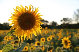 sunflower-402249_1280